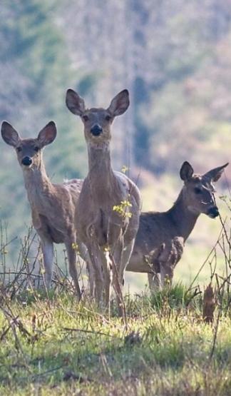 deer-tall1-pic