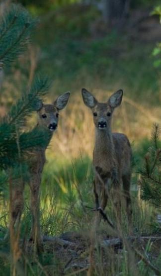 deer-tall2-pic
