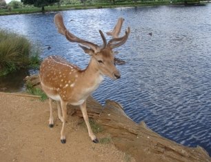 One of many deer allowed to thrive in major London parks as a highly popluar visitor attraction.
