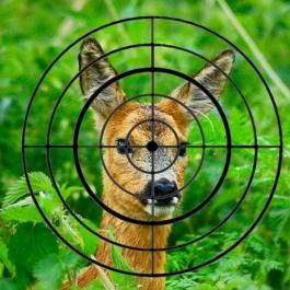 deershotpic