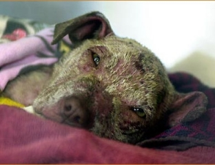 Rescued dog scarred from being forced to fight