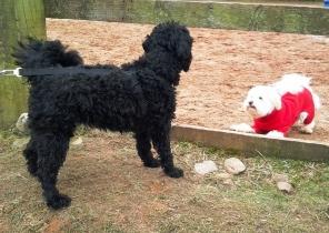 dogs-at-play-at-blaikiewell-pic