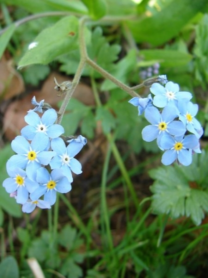 Forget me not. Strathdon 2011