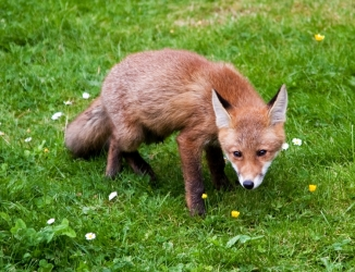 Fox153