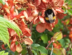 A bee on quince blossoms: take care of the bees and the bees will take care of us
