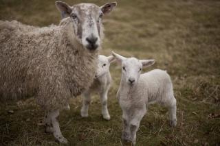 Lamb 154