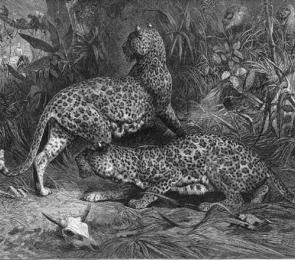 leopardspic