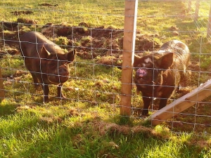 molly-and-patches-pigs-pic