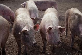Pigs154