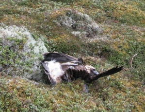 Poisoned Eagle Wildlife Crime At Its Ugliest