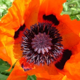 Poppy At Newe July 2011