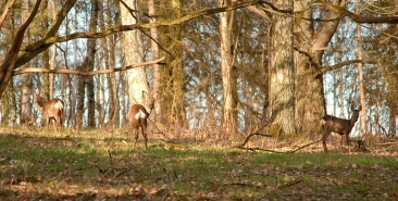 roe-deer-in-woodland153