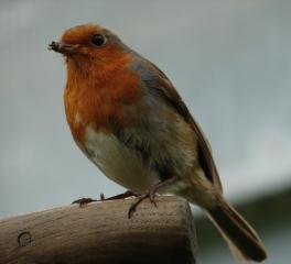 Bob The Robin 2