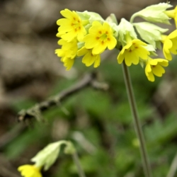Cowslip At Loirston