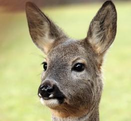 deer5pic