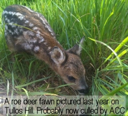 A roe deer fawn born on Tullos Hill 2011. probably now culled by Aberdeen City Council.