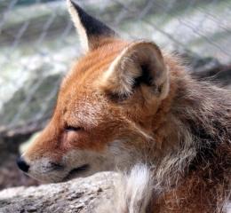 fox1pic
