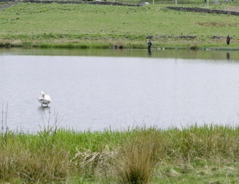 A Swan and Anglers At Loirston loch