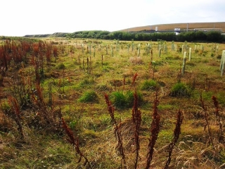 St Fitticks tree planting site is on the North Sea exposed to winds and sea salt. Tree guards are intact but there is no real growth other than weeds.