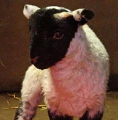 willows-lamb