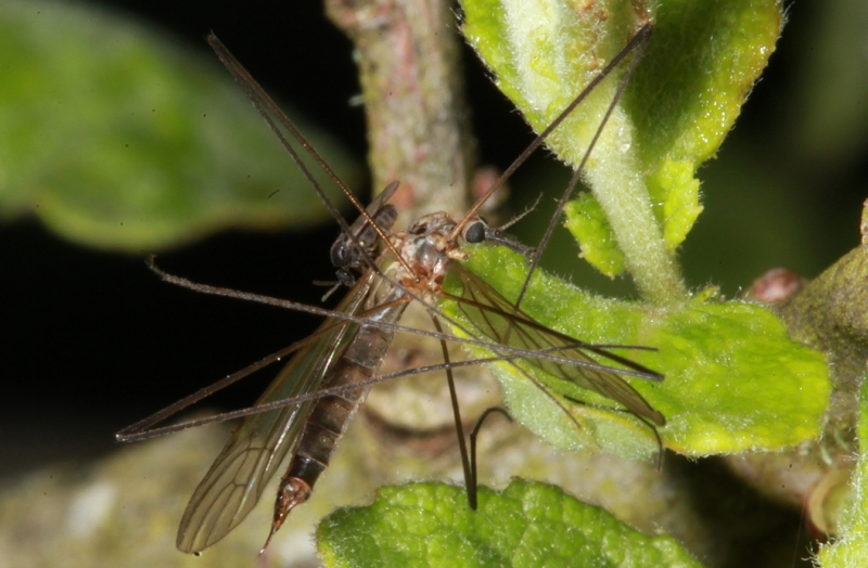 - tfl_fly_and_cranefly_on_eared_willow-pic