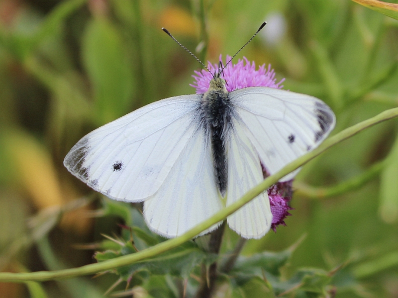 White Butterfly - Tullos hill - Credit: Fred Wilkinson