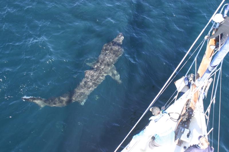 medium_Basking_shark_under_Silurian_Copyright_HWDT