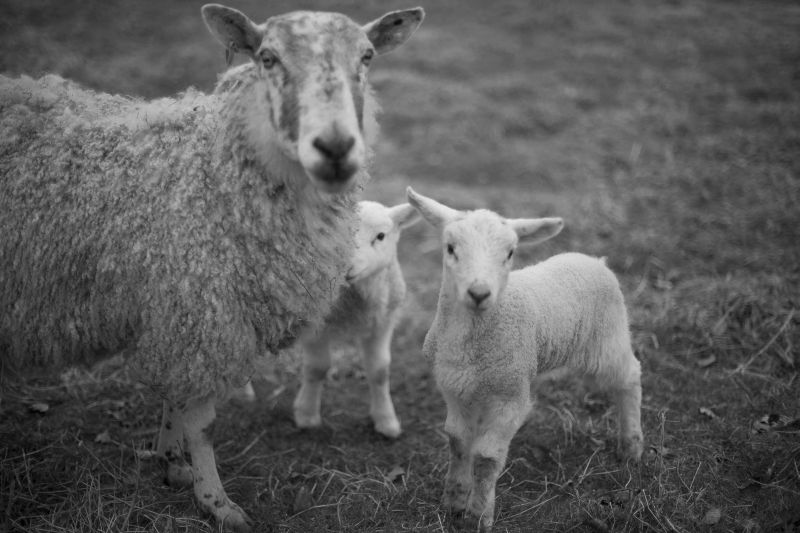Lambs wallace by Duncan Harley
