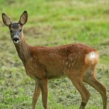 roe-deer-fawn-pic