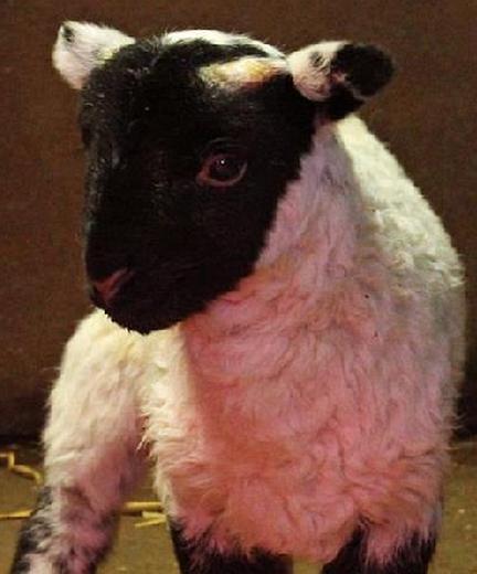 willows-lamb-feat