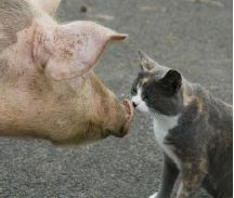 willows-pig-and-kitten-for-18-feb-open-day