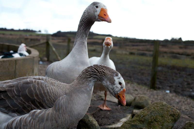 willowsgeese