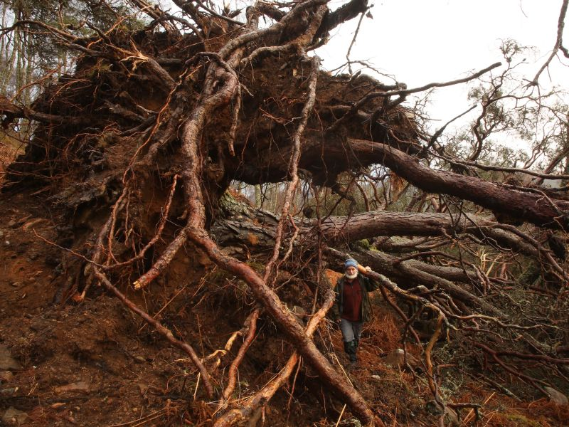 Trees for Life's Alan Watson Featherstone with a giant Scots pine recently uprooted by severe storms at Dundreggan Conservation Estate