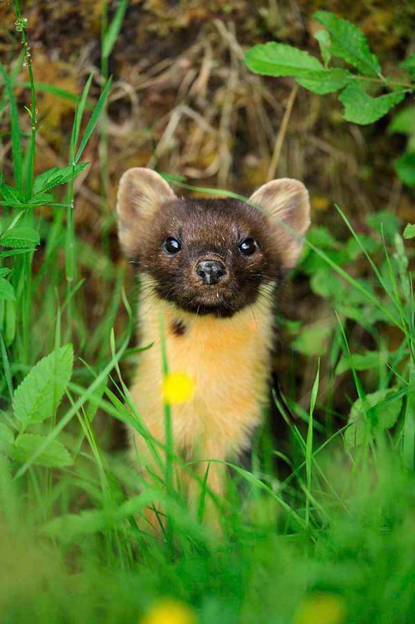 Pine Marten. © Laurie Campbell www.lauriecampbell.com.