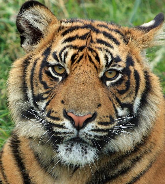 tiger-165189_640 http://pixabay.com/en/tiger-cub-tiger-cub-big-cat-feline-165189/