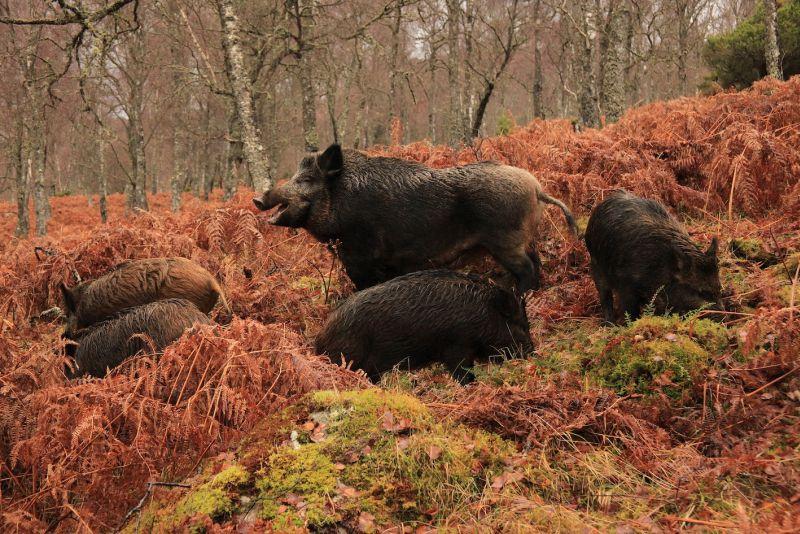 small_TFL_wild_boar_at_Dundreggan