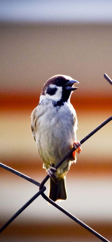 sparrow-426961_1920 crop