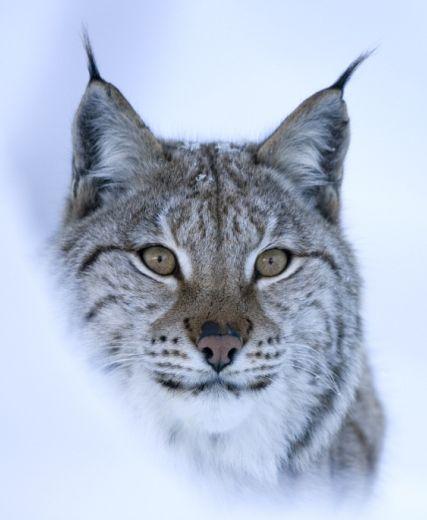 Rewilding Scotland And Return Of Lynx In Spotlight