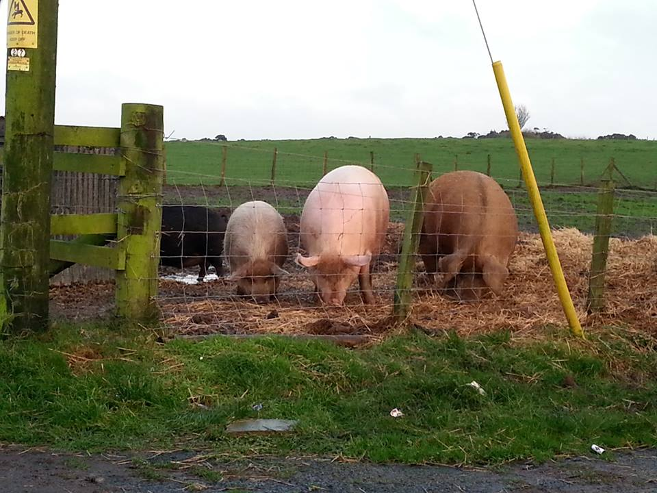 Willows pigs by Deborah Cowan