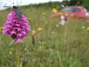 pyramidal orchid with 6s burnet blandford best compressed