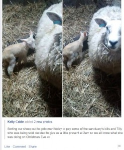 Northfield Sheep to mart fb screenshot