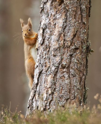 Red squirrel (Sciurus vulgaris) in scots pine forest, Cairngorms National Park, Scotland.
