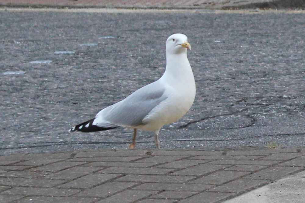 Herring Gull2