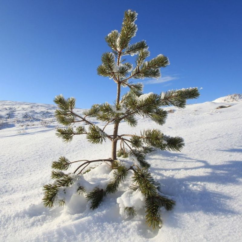 (medium) Scots pine seedling in snow, inside dwarf birch exclosure Dundreggan2