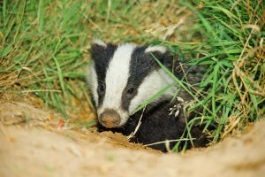 004-badgers-august-2016-by-dod-morrison-photography-2