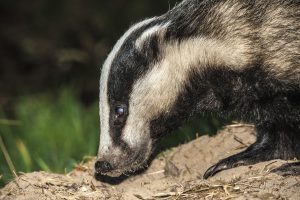 010-badgers-28-8-16-by-dod-morrison-photography-2