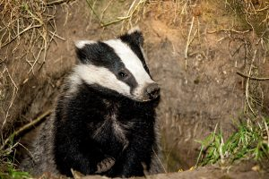 021-badgers-4-9-16-by-dod-morrison-photography-2-use-this