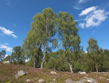 dundreggan-birch-trees-blue-sky-cloud-formation2