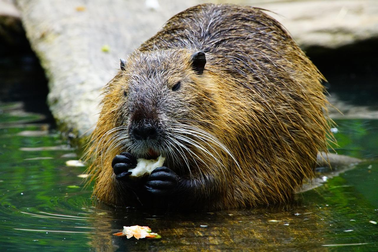 beaver-pixabay-nutria-1386446_1280