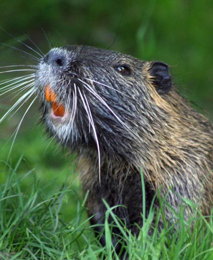 Beavers – Unique Opportunity For The Scottish Highlands